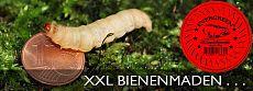 Evergreen Corona Bienenmaden Big Big XXL