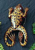Jacks Rubber Froggy Frosch (C)