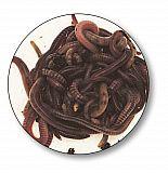 Dendrobeana Würmer #Large #10pcs