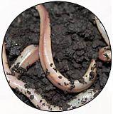 Laubwürmer - 15 Stück PVC Dose